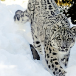 Skiers Encounter Endangered Snow Leopard in Gulmarg, India – Video