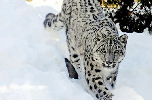 Skiers Encounter Endangered Snow Leopard in Gulmarg, India – Video