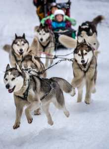 The dog sled race will be kicking off spring in Baw Baw. Photo: Mt Baw Baw